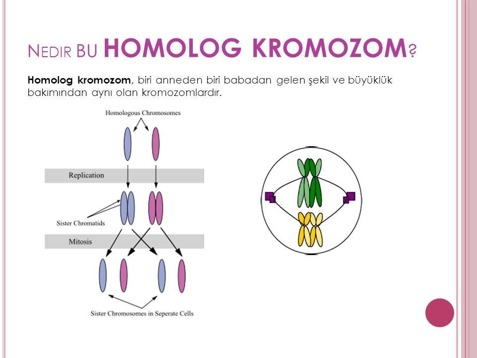 Homolog Kromozom Slayt
