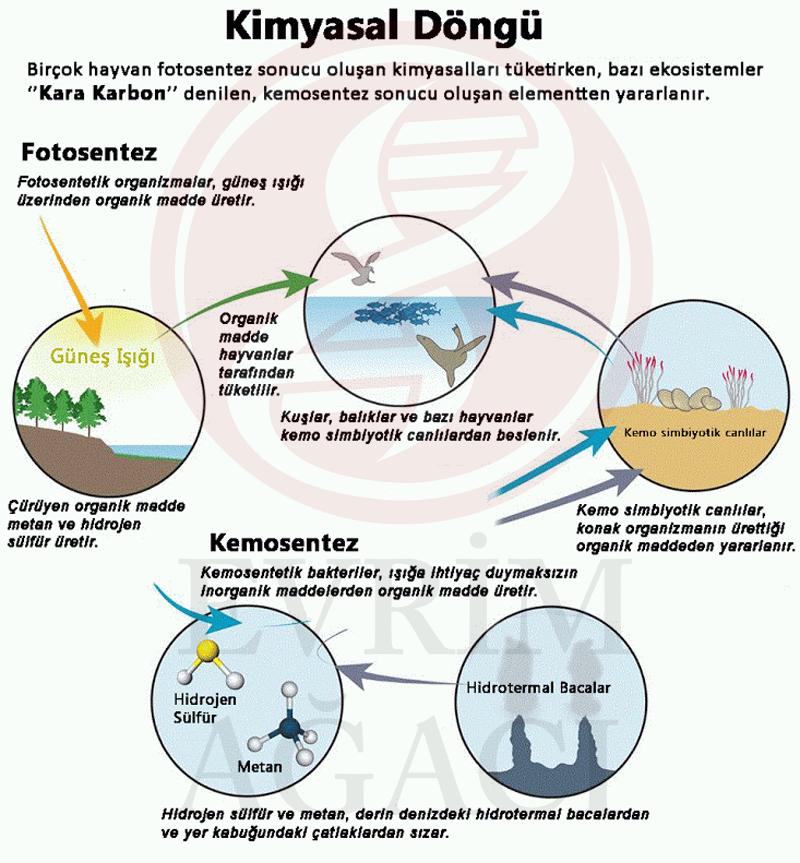 Fotosentez kemosentez karşılaştırılması  •Fotosentez, bitkilerin karbondioksiti su ile birleştirmek adına ışık enerjisini kullanarak gerçekleştirdiği kimyasal bir süreçtir. Bu kimyasal olay sonrasında bitkiler yaşamlarının devamı için gerekli olan glikozu üretmektedirler. •Kemosentez, çeşitli bakteri türlerinin hidrojen sülfür gibi inorganik bileşiklerin oksidasyonundan enerji elde etmek adına yapmış oldukları kimyasal süreçtir. Bu kimyasal tepkime sonrasında elde edilmiş olan enerji karbondioksiti su ile reaksiyona sokarak şeker elde etmek adına kullanılır.