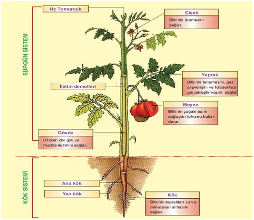 Bitkisel yapı şeması