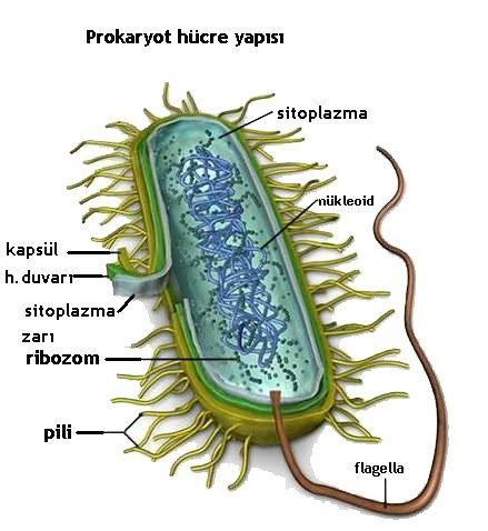 Prokaryot Hücre Yapısı