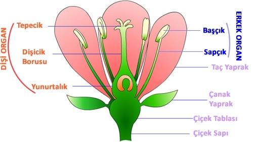 Çiçeğin Yapısı - Taç Yaprak