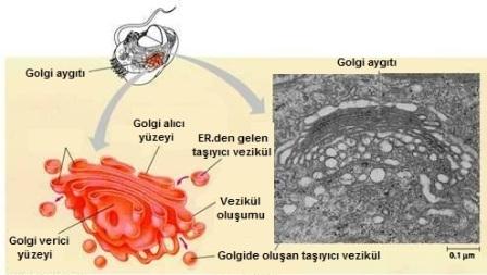 Golgi Aygıtı Nedir