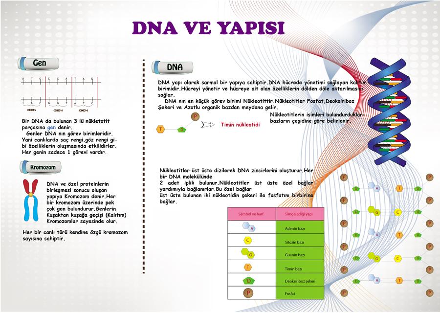 DNA Sarmal Yapısı