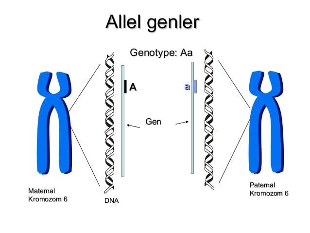 Aynı karaktere etki eden genlerden her birine denir. Alel genler benzer ya da farklı olabilirler. Bezelyelerde çiçek rengi karakterinin ortaya çıkmasını sağlayan biri mor diğeri beyaz çiçekler için iki farklı alel gen bulunur. Bu genlerin biri anneden diğeri babadan gelir. Bu nedenle alel genler aynı kromozom üzerinde bulunamaz.
