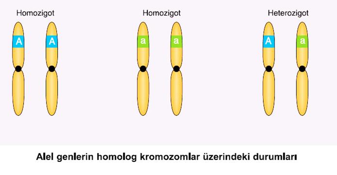 Alel genlerin kromozom üzerindeki durumları