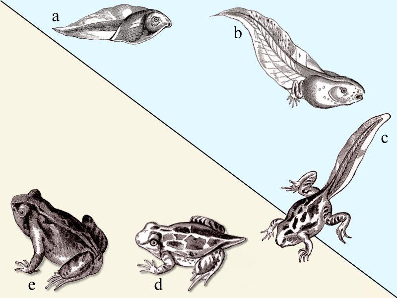 Kurbağanın başkalaşım evreleri