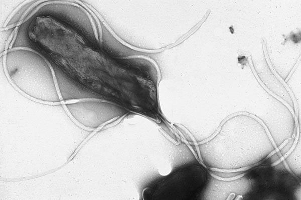 Kamçılı Bakteri