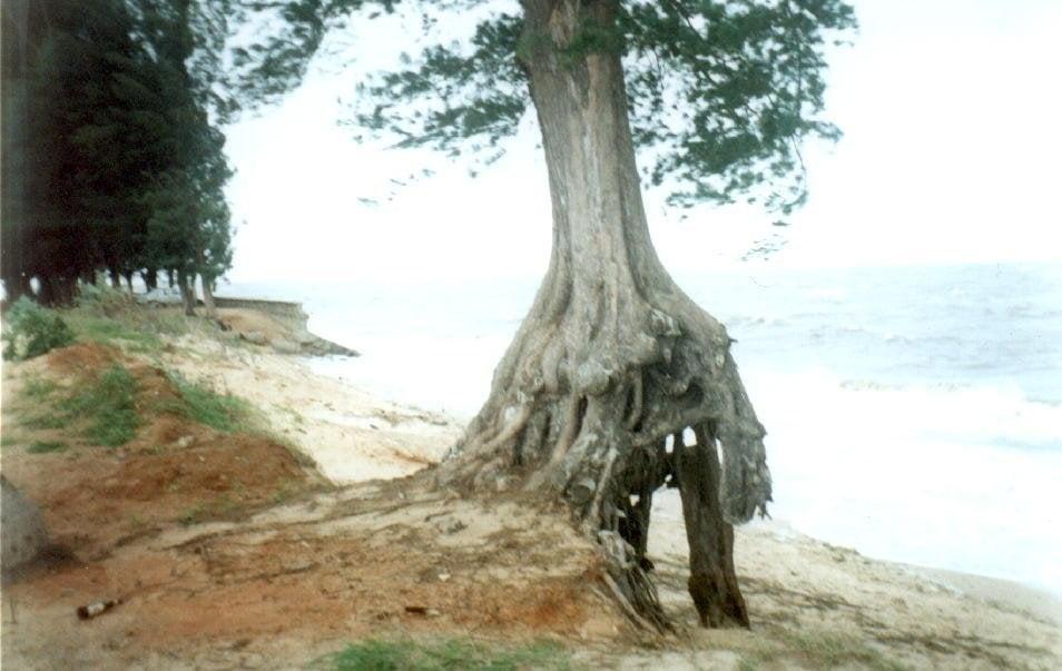Kökü açığa çıkan ağaçlar.