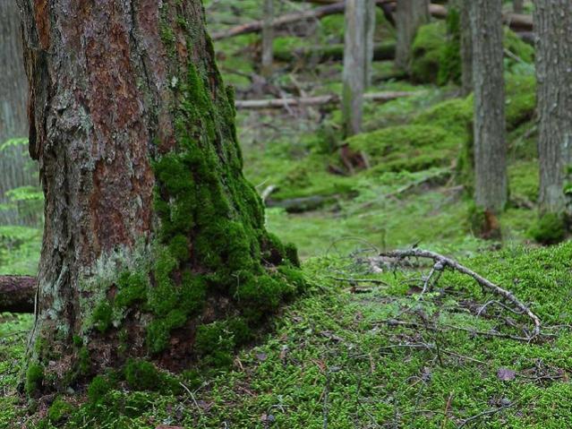 Ormanda yosunlara bakarak yön bulma