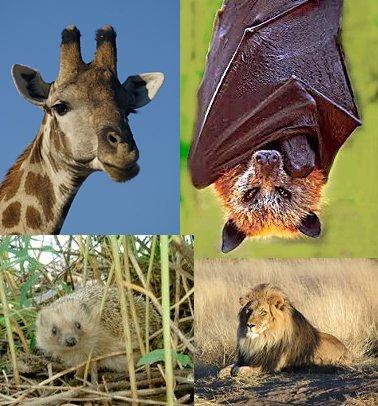 Memeli Hayvanlar (Memeliler)
