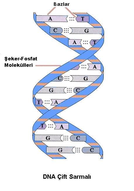 DNA Yapısı