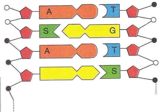 DNA Molekülü