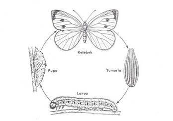 Kelebeğin Başkalaşım Evreleri