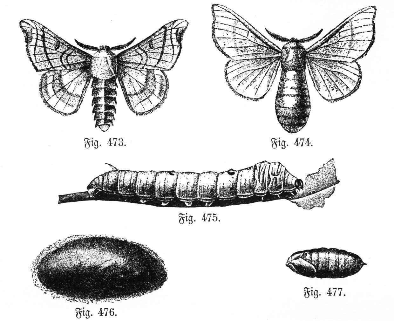 İpek Böceğinin Başkalaşım Evreleri